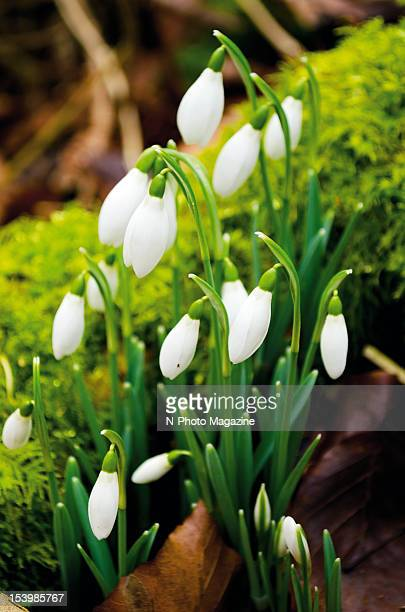 A patch of white Galanthus blossoms also known as Snowdrops taken on March 15 2012