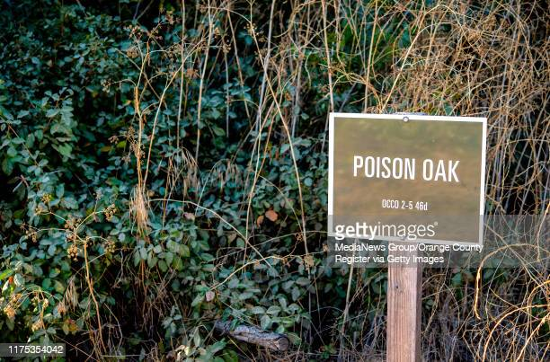 Patches of poison oak can be seen along the Carbon Canyon Creek Nature Trail in Carbon Canyon Regional Park in Brea early on Friday morning August 30...