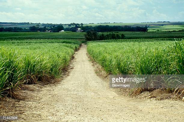 A path amidst the sugarcane fields of Barbados, Caribbean