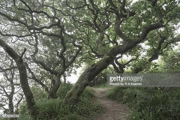 Path beneath gnarled old Oak Trees