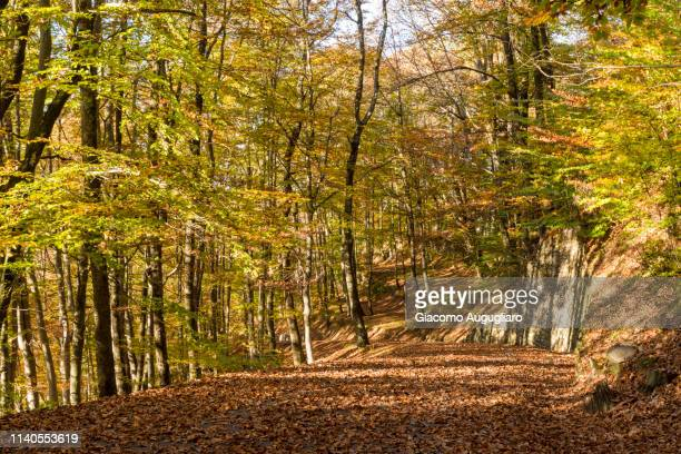 path full of brown leaves in autumn,  val vigezzo, verbano cusio ossola province, piedmont, north italy, italy - piedmont park atlanta georgia stock pictures, royalty-free photos & images