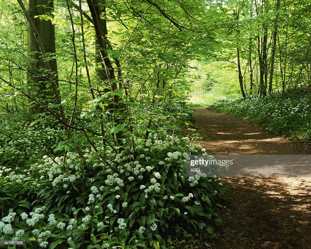 Path in a Forest With Wild Garlic Wildflowers, Aberfeldy, Perthshire, Scotland : Stock Photo