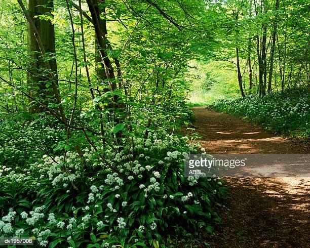 path in a forest with wild garlic wildflowers, aberfeldy, perthshire, scotland - アバフェルディ ストックフォトと画像