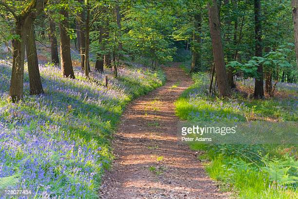 path in bluebell wood, gloucestershire, uk - peter adams stock pictures, royalty-free photos & images