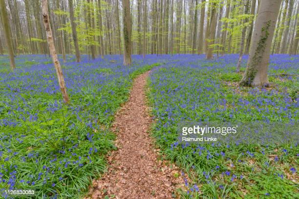 Path in bluebells forest in the spring, Hallerbos, Halle, Vlaams Gewest, Brussels, Belgium, Europe