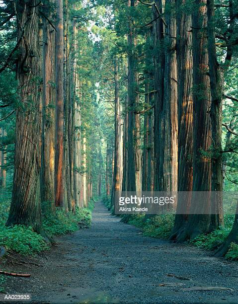 Path leading through Japanese cedar trees (Cryptomeria japonica)