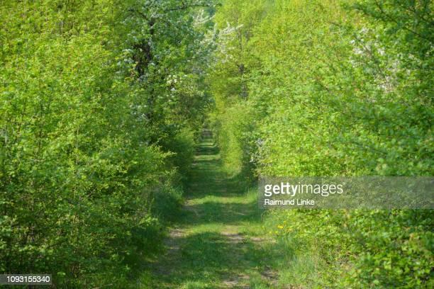 Path leads through overgrown hedge in spring, Sodenberg, Hammelburg, District Bad Kissingen, Rhön, Bavaria, Germany