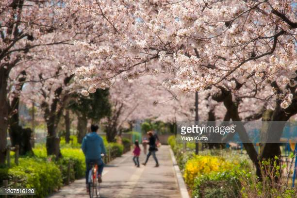 path lined with cherry trees in bloom - saitama prefecture stock pictures, royalty-free photos & images