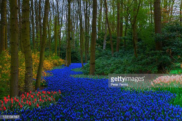 path of grape hyacinths and tulips - keukenhof gardens stock pictures, royalty-free photos & images