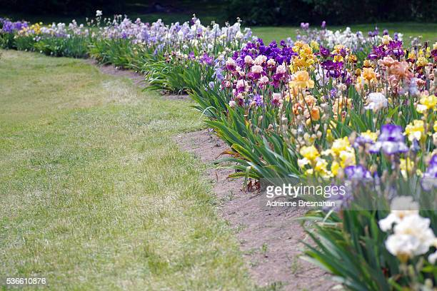 path of irises in bloom - montclair stockfoto's en -beelden