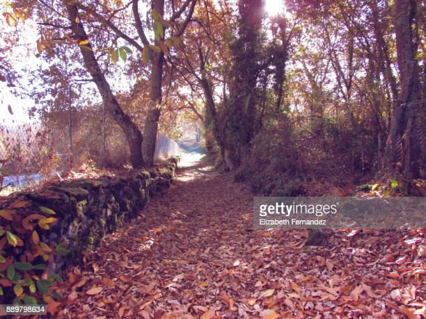 Path of leaves amidst trees in the forest during autumn