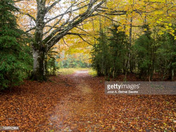 path of mountain between beeches in autumn, with rain, puddles and leaves of colors. ordesa national park, huesca spain. - árbol de hoja caduca fotografías e imágenes de stock