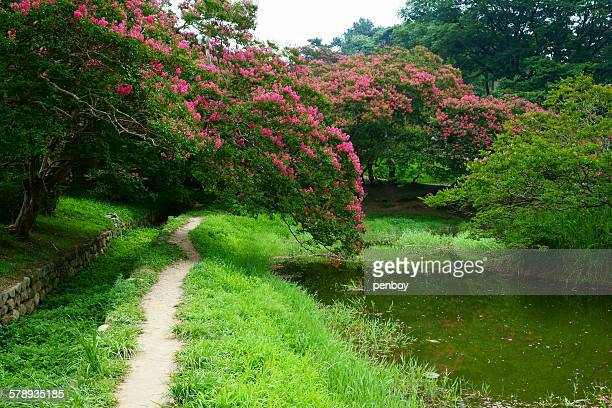 a path - crepe myrtle tree stock pictures, royalty-free photos & images