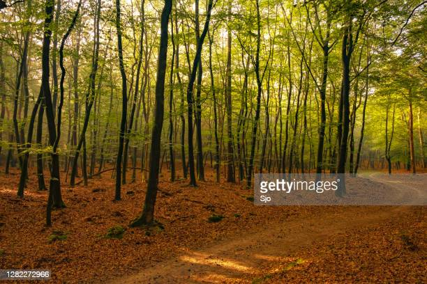 "path through a beech tree forest landscape with sunlight through the canopy - ""sjoerd van der wal"" or ""sjo"" stock pictures, royalty-free photos & images"