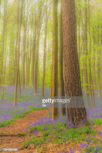 "path through a bluebell flowers growing on the forest floor during springtime - ""sjoerd van der wal"" or ""sjo"" stock pictures, royalty-free photos & images"