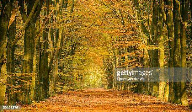 "path through a fall forest - ""sjoerd van der wal"" stockfoto's en -beelden"