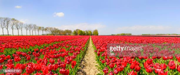 """path through a field of red tulips growing in an agricultural landscape during springtime - """"sjoerd van der wal"""" or """"sjo"""" stock pictures, royalty-free photos & images"""