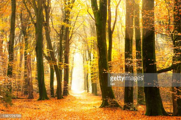 Path through a gold colored forest during a beautiful sunny fall day