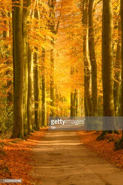 """path through a gold colored forest during a beautiful sunny fall day - """"sjoerd van der wal"""" or """"sjo""""nature stockfoto's en -beelden"""