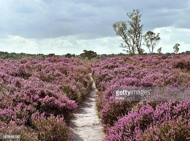 path through a heather landscape in bloom, kalmthoutse heide, belgium - niet gecultiveerd stockfoto's en -beelden