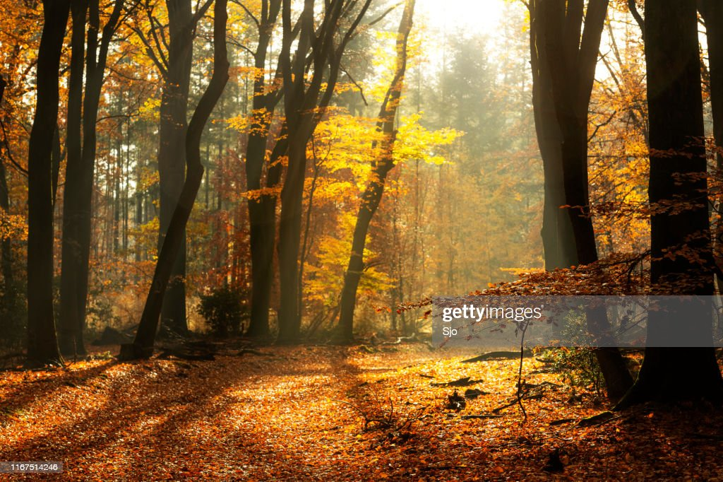 Path through a misty forest during a beautiful foggy autumn day : Stock Photo
