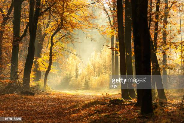 path through a misty forest during a beautiful foggy autumn day - woodland stock pictures, royalty-free photos & images