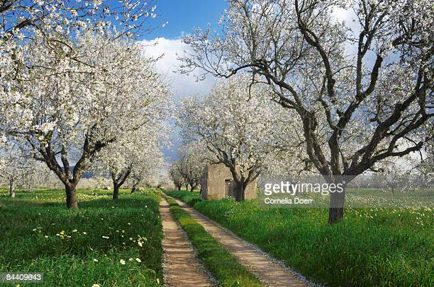 Path through almond plantation, (Prunus triloba)