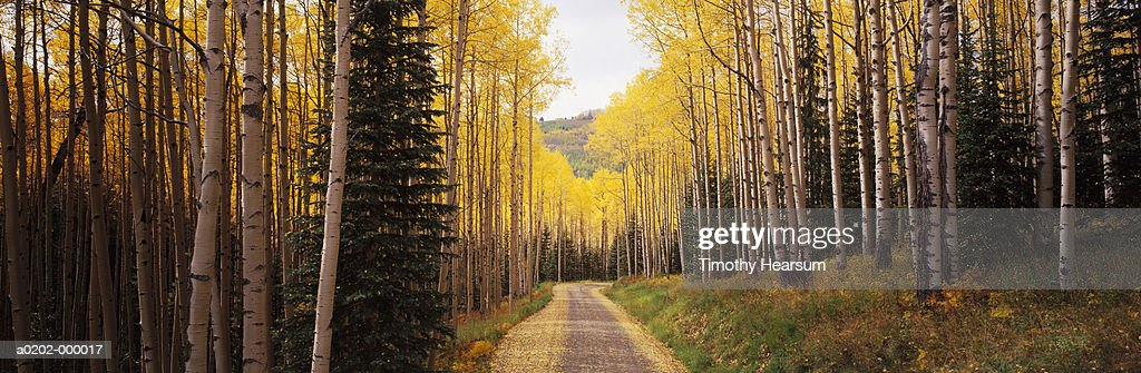 Path Through Aspen Tree Forest : Stock Photo