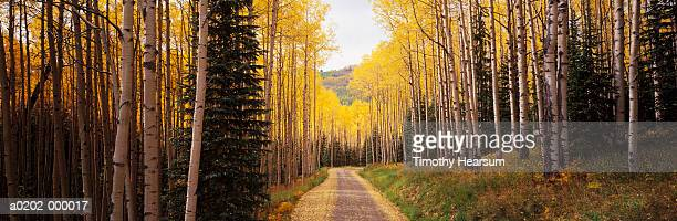 path through aspen tree forest - timothy hearsum bildbanksfoton och bilder
