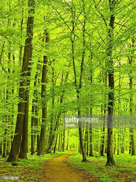 Weg durch Beech Tree Forest