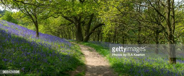 path through bluebells at roseberry topping, north york moors, england - york yorkshire stock photos and pictures