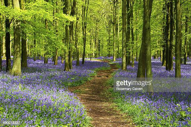 path through carpet of bluebells in beech wood - bluebell wood stock pictures, royalty-free photos & images