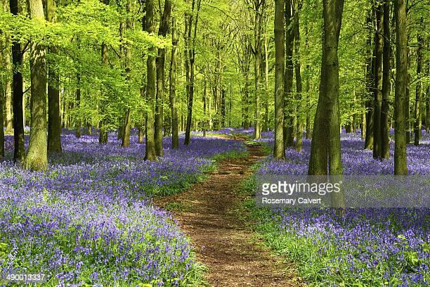 Path through carpet of bluebells in beech wood
