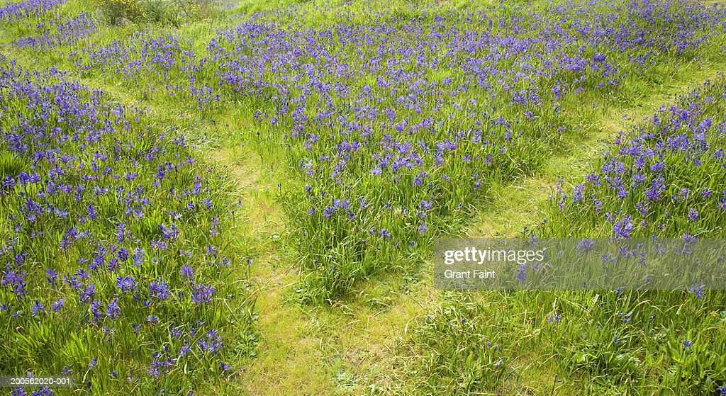 path through field of blue flowers stock photo getty images