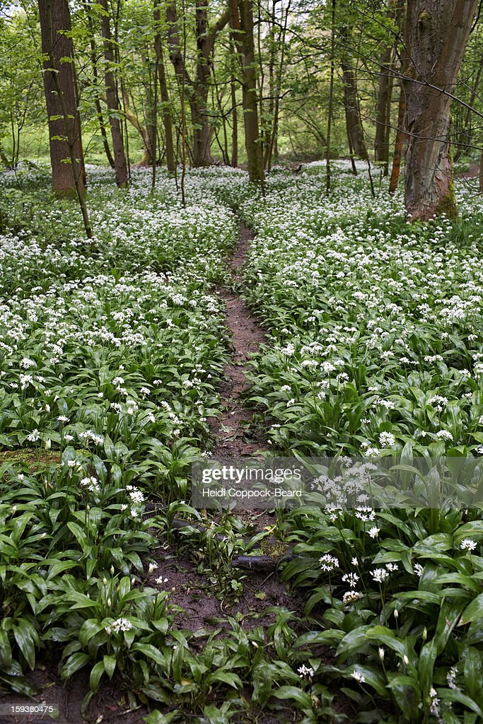 Path through forest : Stock Photo