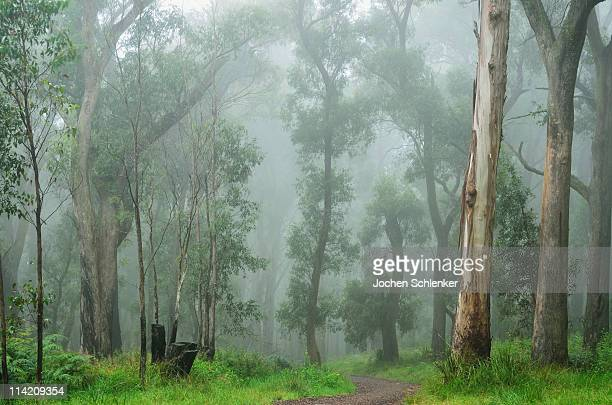 path through mountain ash forest in fog - dandenong stock photos and pictures