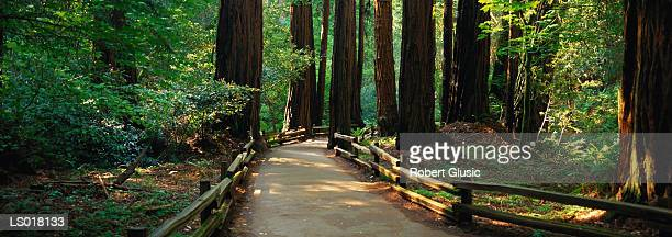 path through muir woods state park - muir woods stock photos and pictures