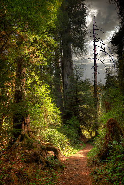 Path Through Redwood Forest