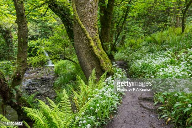 path through spring woodland at aberfforest, pembrokeshire, wales - ail des ours photos et images de collection