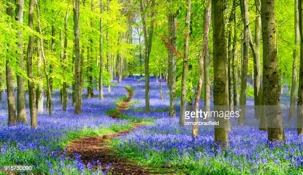 path through the bluebell wood in springtime - woodland stock pictures, royalty-free photos & images
