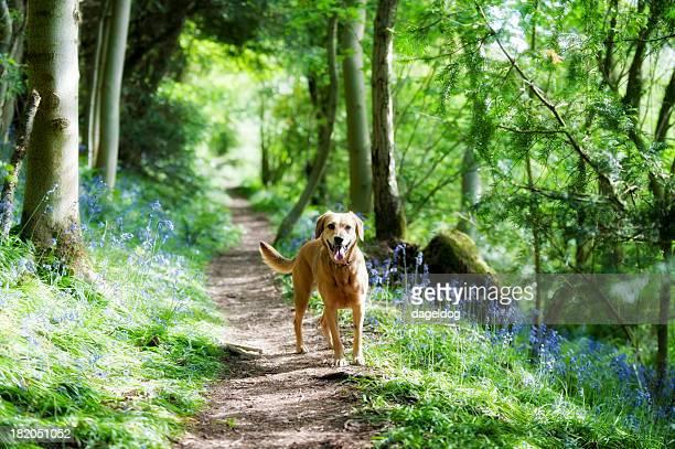 Caminho através do bluebells
