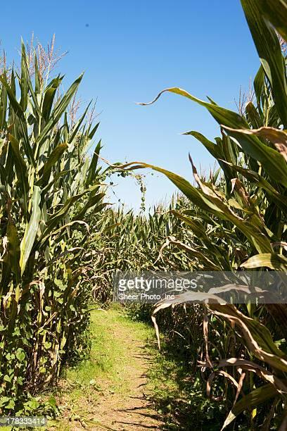 Path through the corn stalk field