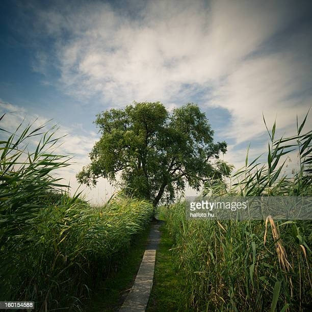 Path to the lake with reeds and a big tree