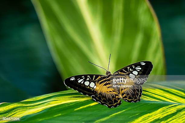 pathenos sylvia butterfly - alma danison stock photos and pictures
