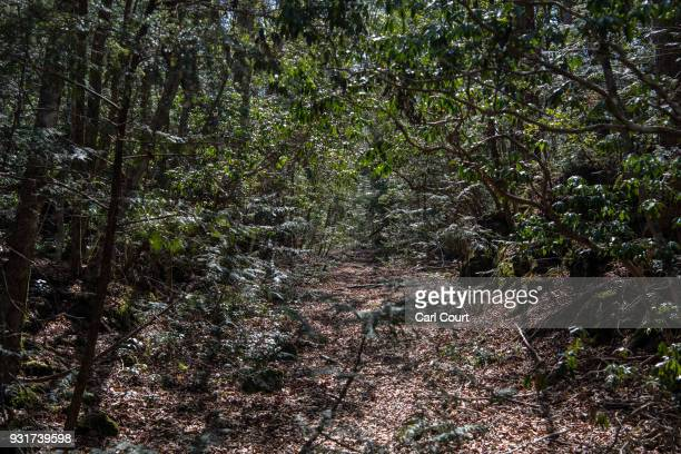 A pathway leads through Aokigahara forest on March 14 2018 in Fujikawaguchiko Japan Aokigahara forest lies on the on the northwestern flank of Mount...