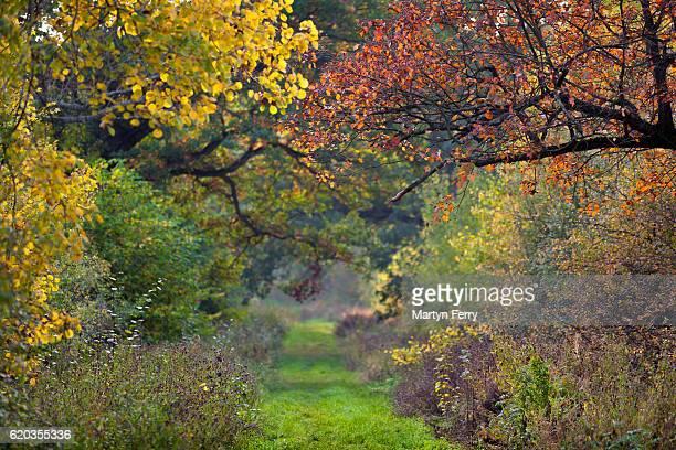 Pathway through autumn colour, Monks Wood, Abbots Ripton, Cambridgeshire, East Anglia, UK