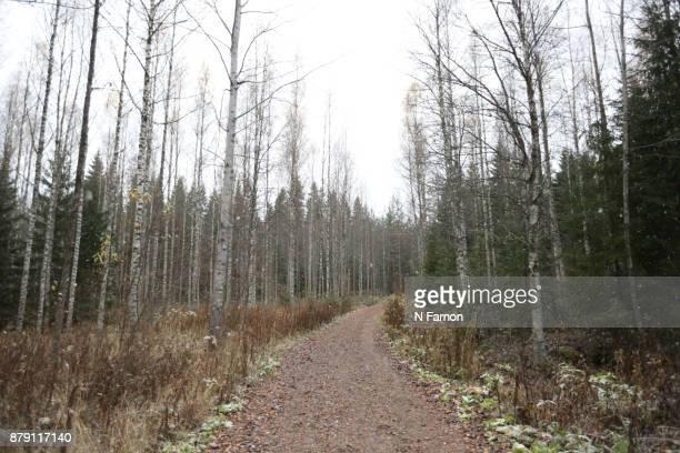 Pathway  through silver birch in National Park, Finland