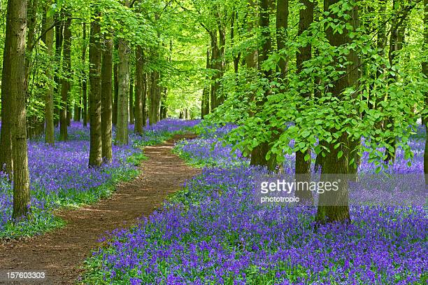 pathway through the bluebells