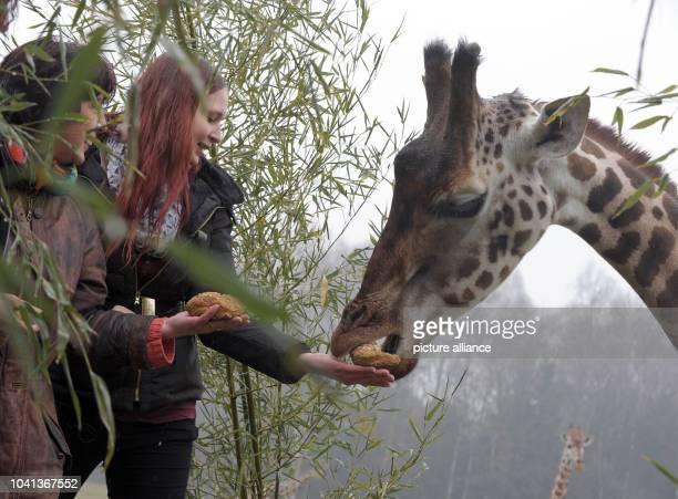 Patients Manuela Staffhorst and Kerstin Tschoertner feed feed a giraffe at Serengeti Park near Hodenhagen Germany 10 April 2013 Serengeti Park and...