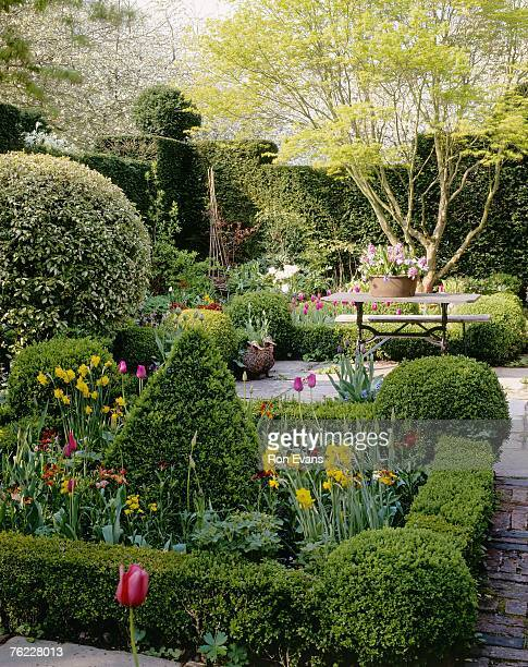 patio enclosed by yew (taxus) hedge with clipped (box) buxus hedge, table with pot hyacinth (hyacinthus orientalis) - hyacinth stock pictures, royalty-free photos & images